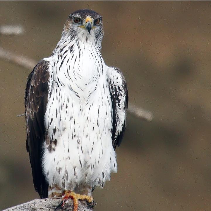 Águila perdicera (Aquila fasciata)